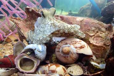 Octopus at Kep Oceanarium volunteer project